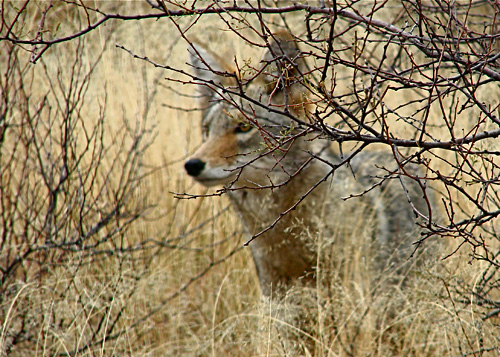 Coyote by Orchid W Davis
