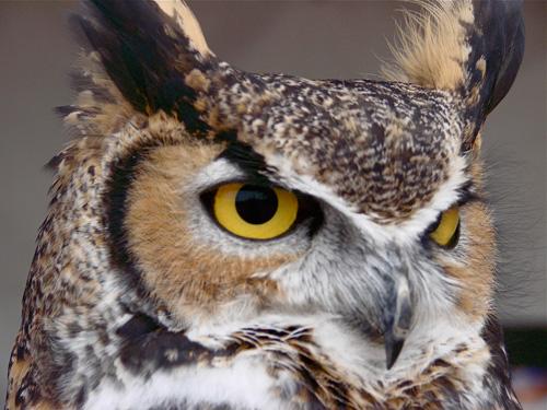 Owl by Orchid W Davis