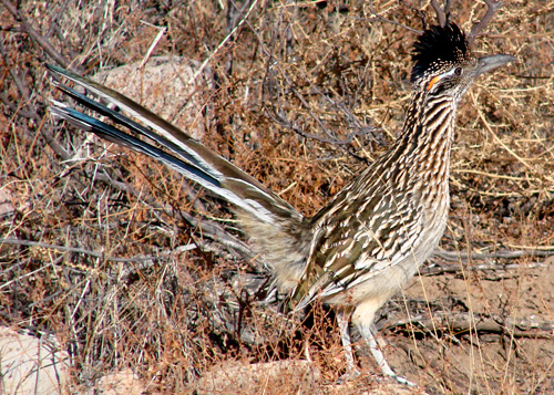 Roadrunner photo by Orchid W Davis